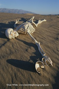 Skeleton Death Valley by Lee White
